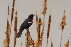 Carouge à épaulettes (male) / Red-winged Blackbird (male) (Pierre Lemieux) Tags: troispistoles québec canada carougeàépaulettes redwingedblackbird male