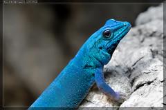 Lygodactylus williamsi (stofmania) Tags: christopheaubin lygodactylus lézard stofmania lizard williamsi