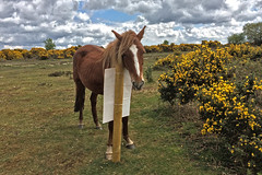 New Forest (Jainbow) Tags: pony ponies newforest hampshire views picketpost jainbow