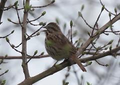 Sing, Song Sparrow! (davidspence63) Tags: bird vermont songsparrow