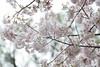 Prunus x yedoensis 'Akebono' (Masaoki Hirai) Tags: trioplanf28100 cherry blossoms prunus cerasus rosaceae cherryblossoms