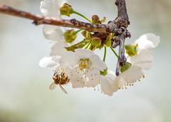 _DSC7521 (KateSi) Tags: cherryblossoms blossoms flowers fleurs blomster cherrytree spring vår primavera printemps white blanche blanco hvitt bees honeybee honeybees abeja abeille bie abejas biers abeilles nikon nikond90 depthoffield nature naturaleza natur