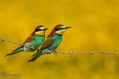 Abejaruco europeo - European Bee-eater (Merops apiaster) (Corriplaya) Tags: birds corriplaya aves abejarucoeuropeo europeanbeeeater meropsapiaster