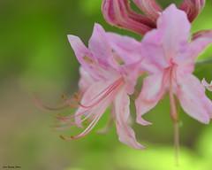 Limber Honeysuckle (kbbrawley5) Tags: pink wildflower limberhoneysuckle honeysuckle castorriver castor river conservation madisoncounty mo midwest castorriverconservationarea missouridepartmentofconservation sigma d3200 nikon kurtbrawley missouri usa unitedstatesofamerica