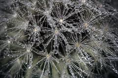 Dandelion season (Valentina Conte) Tags: dandelion macro closeup seeds drops rainy rain water canon100d rebelsl1 valentinaconte nature gardn taraxacum flower plant texture