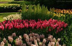 Unforgetable Keukenhof (Natali Antonovich) Tags: keukenhof unforgetablekeukenhof holland tradition nature landscape flowers park enamouredspring spring tulips narcissuses landscapearchitecture harmony