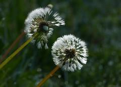 Peek a boo (joeke pieters) Tags: 1340207 panasonicdmcfz150 paardenbloem dandelion pluizenbol seedhead bloem flower wildflower bokeh platinumheartaward