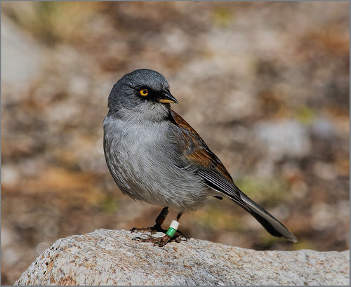 Yellow-eyed Junco by Marcia Nye - Class A Digital Award - March 2017