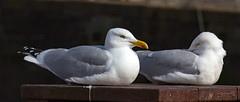 Arbroath 19 April 2017-0008.jpg (JamesPDeans.co.uk) Tags: gb greatbritain birds prints for sale unitedkingdom nature digital downloads licence scotland britain gulls herringgull wwwjamespdeanscouk man who has everything angus arbroath landscapeforwalls europe uk james p deans photography digitaldownloadsforlicence jamespdeansphotography printsforsale forthemanwhohaseverything