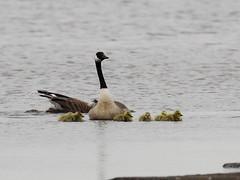 EOS 7D Mark II_045252 (Gertjan Kamsteeg) Tags: animal vertebrate bird brantacanadensis canadagoose grotecanadesegans canadesegans canadagans goose gans degroenejonker