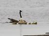 EOS 7D Mark II_045252 (gertjan.kamsteeg) Tags: animal vertebrate bird brantacanadensis canadagoose grotecanadesegans canadesegans canadagans goose gans degroenejonker