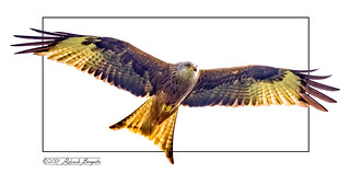 Afterglow - stylised Red Kite [Explored]