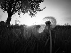 (Emilynx) Tags: bnw blackandwhite blur dandelion grass glare tree trees sky sun outside bw april nature natura natur n vignette