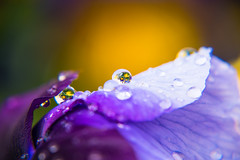Droplet (explore 2017-05-10) (Maria Eklind) Tags: dof droppar color flowers nature water regn outdoor depthoffield makro colorful macro droplet blommor closeup flower raindrops malmö skånelän sverige se spegling reflection