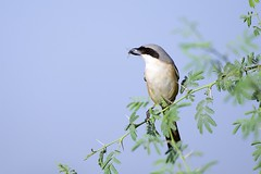 Long-tailed Shrike (Lanius schach / कजला लटोरा) (jhureley1977) Tags: longtailedshrike laniusschach कजलालटोरा birds birding ashjhureley avibase naturesvoice bbcspringwatch rspbbirders ashutoshjhureley orientbirdclub sanctuaryasia