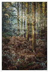 Sunrise warms frozen branches - in explore (Dave Fieldhouse Photography) Tags: cannockchase staffordshire staffordshirelife stafford trees winter sunrise frost frozen colours fern bracken fuji fujixt2 fujifilm wwwdavefieldhousephotographycom portrait woodland sunlight local forest