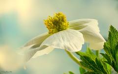 Álmok a tavaszban (Van'elise) Tags: tavaszi fehér virág művészifotó makrófotó makró tavasz