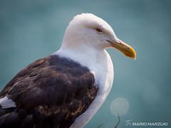 Northern black-backed gull, Matiu Somes Island (mario.marzuki) Tags: lowerhutt wellington newzealand nz