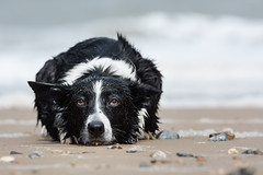 Home time :( (Photography by Tosh) Tags: norfolk anglia animal beach coast dog east martin nikon palling pet sand sea seaside tosh uk seapalling england unitedkingdom gb bordercollie sheepdog