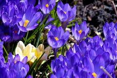 The Colours of Spring (Garry9600) Tags: lumix fz200 canada flowers crocus spring outdoor closeup cans2s