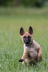 Puppy (Explored May, the 13th 2017) (JULIEN VI) Tags: puppy chiot nikon d500 300mmf45 malinois explored inexplore
