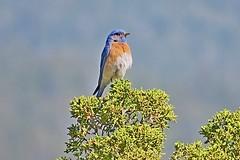 Western Bluebird, Tijeras, NM 4/23/17 (LJHankandKaren) Tags: tijerasrangerstation bluebird thrush westernbluebird