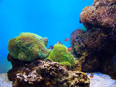 Wind in the Water (Steve Taylor (Photography)) Tags: current aquatic underwater aquarium seaanemone clownfish fish gravel stone rock plant