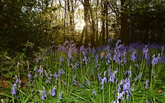 Early Morning Bluebells,  Suffolk. 27 04 2017 (pnb511) Tags: suffolk rurallandscape woodland trees beech bluebells sunrise holly green trunk england