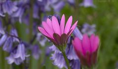 Spring colour (Ollie_57.. on/off) Tags: plant flowers flora bluebells africandaisy osteospermum nature bokeh hbw tamronsp90mm canon 7d spring apr 2017 bishopsteignton devon westcountry england uk affinityphoto ollie57 ngc npc