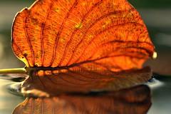 return (joy.jordan) Tags: leaf texture light color puddle reflection bokeh nevis westindies nature