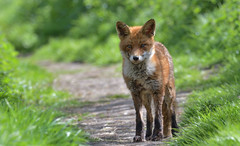 Red Fox (KHR Images) Tags: redfox fox vulpesvulpes wild mammal nature wildlife riverbank closeup nikon d500 kevinrobson khrimages