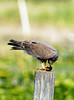 SNAIL KITE FEMALE (concep1941) Tags: hawkandeaglefamily evergladesfamily birds freshwatermarshes nature snailcatcher