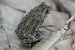 Duttaphrynus melanostictus (T.Garrigues) Tags: frog toad thaïland bangkok crapaud bufo melanostictus amphibian amphibien anoure batracien anura duttaphrynus macro