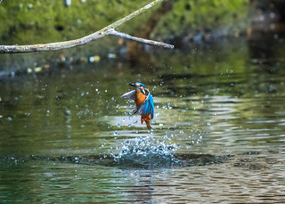 Kingfisher ( Alcedo atthis ) Male