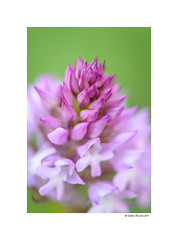 """Anacamptis Pyramidalis"" (g.femenias) Tags: anacamptispyramidalis anacamptis orchid orquídiapiramidal flower nature macro approximation sescoves santaeugènia mallorca"