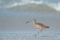 Whimbrel & Wave (Andrew_Leggett) Tags: whimbrel numeniusphaeopus wader shorebird beach sea shore wave spring asilomar california andrewleggett holiday water bird nature wild sun sparkle sand