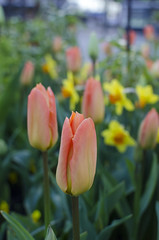 (¤ Chris ¤) Tags: tulips colours farver tulipaner flowers blomster dof nikon d7000 green grønt gul yellow red rød