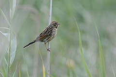 HNS_7584 Rietgors mn juv : Bruant des roseaux : Emberiza schoeniclus : Rohrammer : Reed Bunting