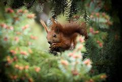 IMG_0502-1 (Bernard VIGNAULT) Tags: animal ecureuil poland squirel wildlife