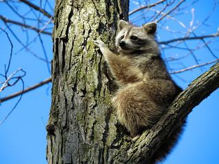 Mignon raton / Cute raccoon / 3