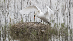 Höckerschwan / Mute Swan (www.natureinimages.com) Tags: höckerschwan mute swan cygnum olor