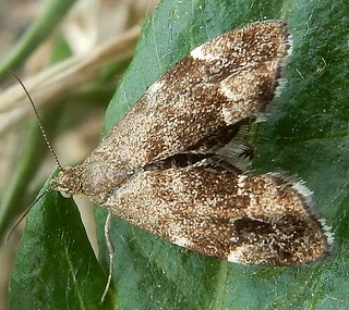 Tiny moth - Anthophila fabriciana