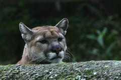 Mountain lion (山獅) (scv1_2001) Tags: nikon nikon70200mmvrii nikond750 taiwan taipeizoo 台北市立動物園