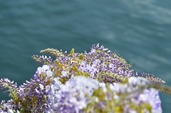 Glycine over the lake (dfromonteil) Tags: flowers fleurs glycine purple violet pourpre bleu blue lake lac lakecomo bokeh nature spring printemps light lumière eau water vert green colors couleurs