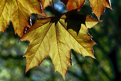 new maple leaves (Millie Cruz) Tags: leaves maple new spring golden red bokeh silhouettes trees tree nature outdoors