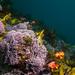 Calcareous red algae - Corallinaceae #marineexplorer