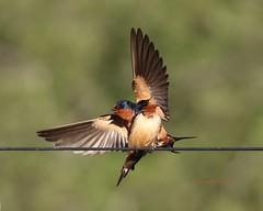 Barn swallows announcing (Victoria Morrow) Tags: