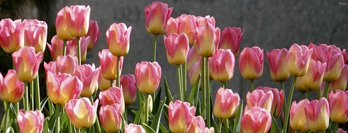 """tulips • <a style=""""font-size:0.8em;"""" href=""""http://www.flickr.com/photos/52364684@N03/34408034931/"""" target=""""_blank"""">View on Flickr</a>"""