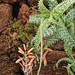 Aloe squarrosa 2385-1; Asphodelaceae (1)