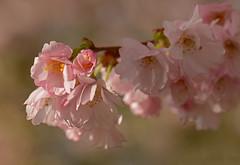 Cherry blossom (+_Jan_+) Tags: cherryblossom sakura prunus japanesecherry
